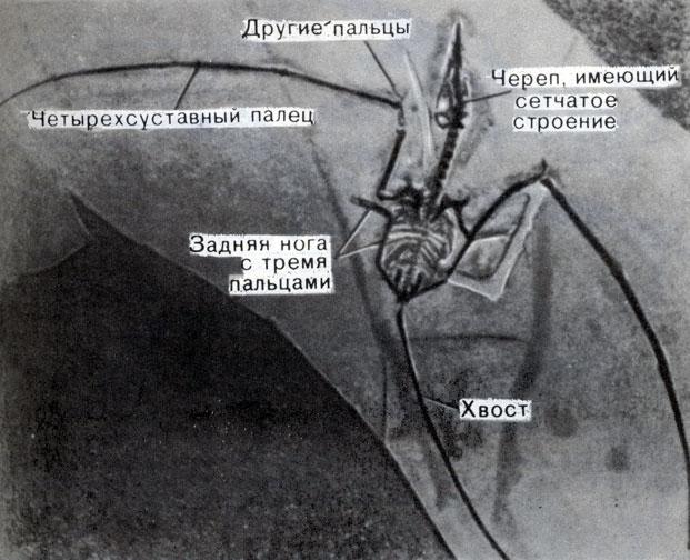 ...кроме того, подобные остатки были найдены и... Мы многое знаем о строении и облике летающих рептилий благодаря...