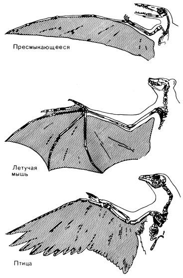 Схема сравнения крыла летающей